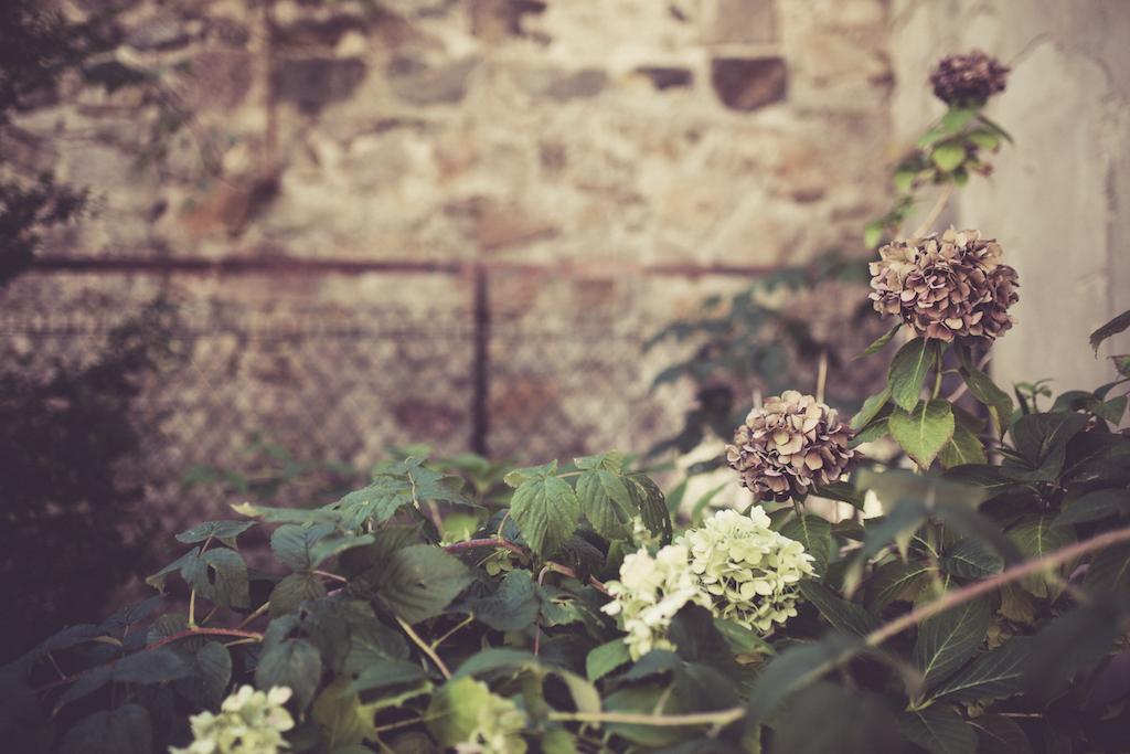 les hortensias de claire